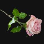 Роза-2-1